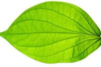 Traders give in for smooth bid of betel leaves