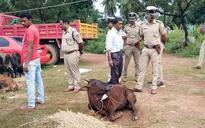 Karnataka: Cop injured while attempting to arrest cattle smugglers in Kundapur