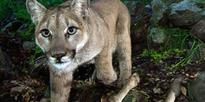 Colorado woman fights a lion to rescue her son