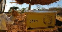 Beehive fences ward of crop-raiding elephants