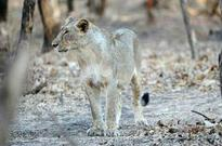 Lioness sets a record, gives birth to five cubs in Gir