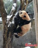 Panda gets taste of snow play in E China county