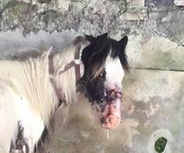 Abandoned horse left with maggot infection after headcollar embedded on its head