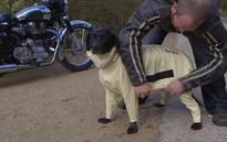 British Biker Dog Gets Protection from Kevlar