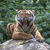 The struggle and resilience of the world's tigers, in photos