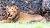 Safety net around Asiatic lions set to shrink