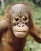 Indonesia jails orangutan trader caught with baby ape
