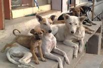 Activists want Chennai Corporation to suspend animal birth control programme