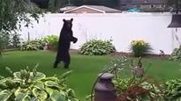 Pedals, the Bear Who Walks Upright Like a Human, Spotted Again in New Jersey