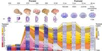 Comprehensive map of primate brain development published in Nature