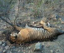 Prince, the famous tiger from Karnataka's Bandipur National Park, is dead
