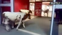 Cows go shopping in Russian mall