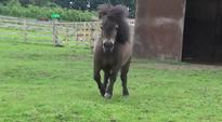 Meet Little Alf: The Shetland pony with dwarfism