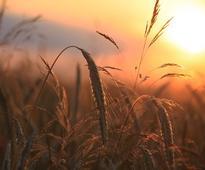 Drought spoils summer paddy prospects in Chhattisgarh