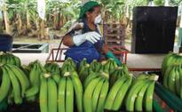Bananas from Ecuador in Asia to stay?
