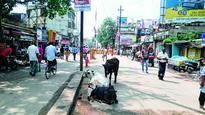 Cows snub road rules