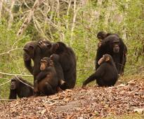 Researchers find that adult wild chimpanzees developed certain immunity against malaria parasites