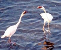 Migratory birds stay back in Porbandar