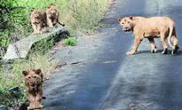 Even after green nod, it''s a long way for Mulayam''s lion safari