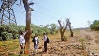 MMRDA miracle: Dead trees 'come alive' at BKC
