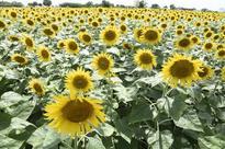 Area under sunflower increases