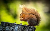 How does a red squirrel cross the road? One French local authority thinks it has the answer