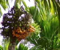 Govt raises arecanut import floor price, to protect growers