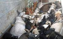 Ensure cow vigilantes don't misuse beef law, police in Maharashtra told after Modi directive