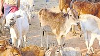 Khaki-clad men steal cows from cow shelter of temple in Meerut