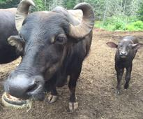 Young Nova Scotia couple start farm producing water buffalo milk and yogurt