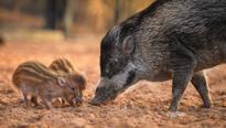 Rare Visayan warty piglets