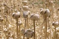 Afghanistan to destroy 15,000 hectares of poppy fields