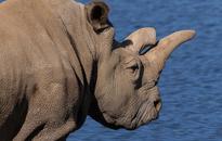 Three in Pretoria court for possession of over 100 rhino horns