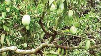 End of days nigh for Dhuliya Malda mangoes