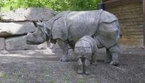 Javan Rhino Population Continues to Rise: WWF