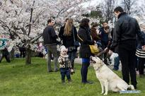 Residents enjoy cherry blossoms in Vilnius, Lithuania