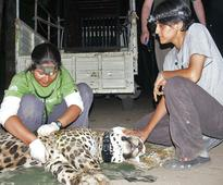 Living with leopards in Incredible India