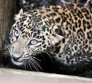 Officials camp in Vellore to monitor big cat