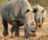 Swaziland accuses SA of backtracking on rhino horn trade