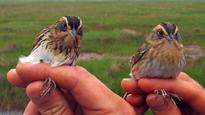 Expert recommends local habitat protection to save Saltmarsh Sparrows
