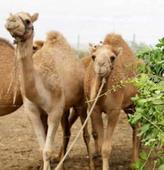 15 injured camels rescued from truck