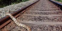 A ten foot Indian rock python found dead at railway track