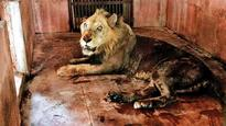 Sanjay Gandhi National Park relieved as Mumbai's 'oldest' lion back on his feet