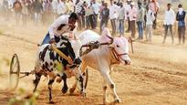 No bullock cart races until further notice: Bombay High Court