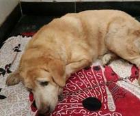 Sole surviving 26/11 police dog hospitalized