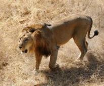 Three Etawah safari Asiatic lions vaccinated against deadly disease
