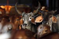 Beef ban: Maharashtra government may approach Supreme Court against Bombay High Court's verdict