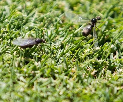 When flying ants invaded Wimbledon
