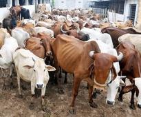 15 cows, 53 calves saved during raid on slaughterhouse