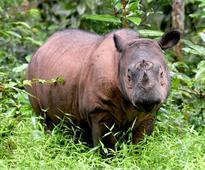 The fight to save Earth's smallest rhino in Sumatra's jungles